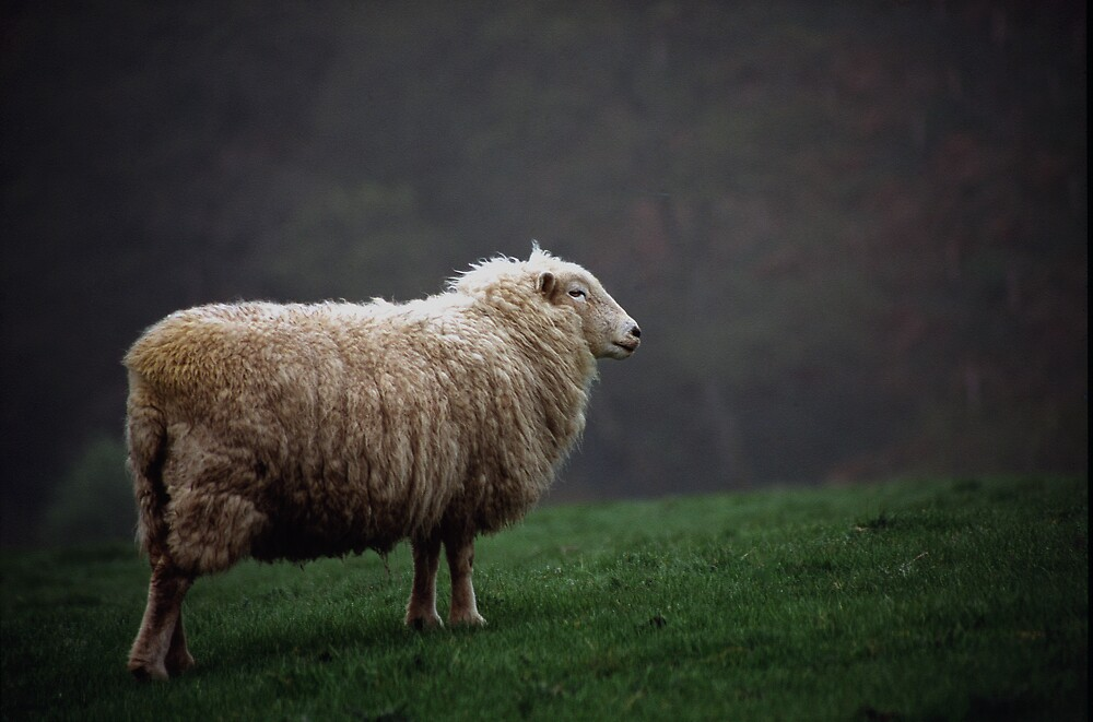 Sheep in the Mist by kitlew