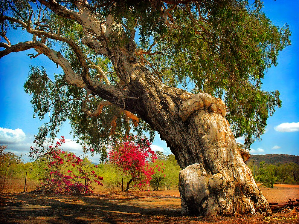 Quot Ancient Paperbark Tree Quot By Frank Mcdonald Redbubble