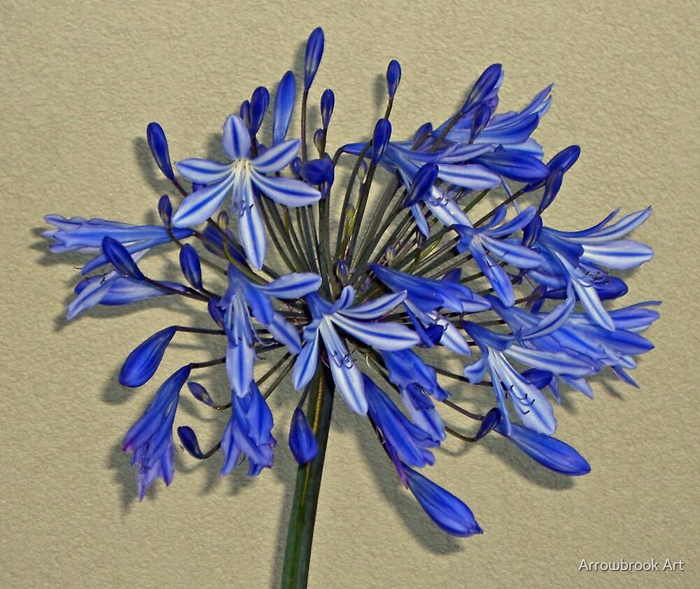 Blue Agapanthus by John Brotheridge