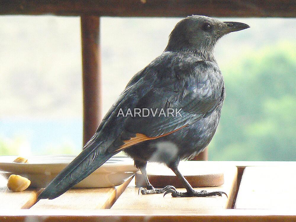 Redwing Starling? by AARDVARK