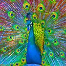 Peacock Rottnest Island WA by Scott Hutchins