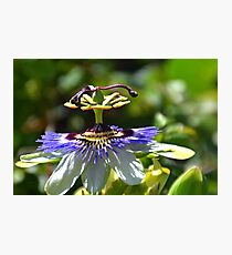 Passion Flower,  Photographic Print