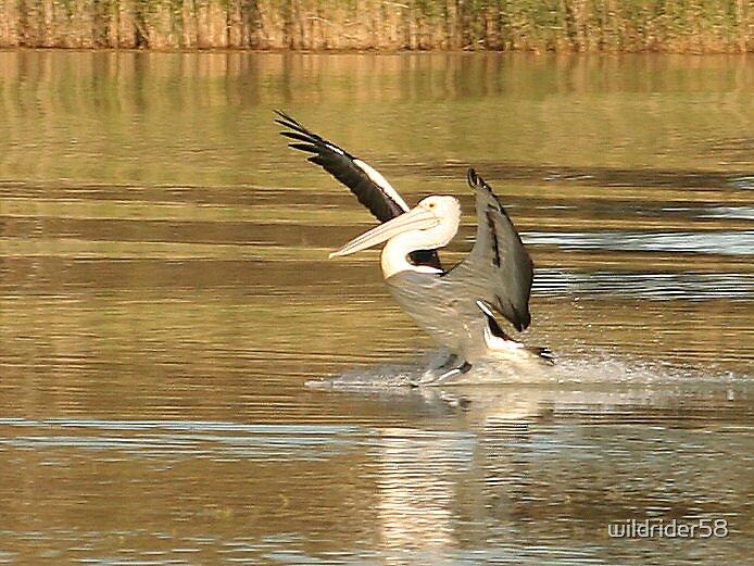 Pelican by wildrider58
