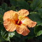The Hibiscus blossoms vibrantly in the California sunshine  by jsmusic