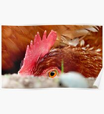I Spy With My Little Red Eye... - Red Shaver Hen - NZ Poster