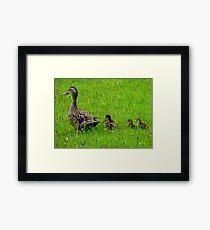 Come on Kids Move Along! - Mallard Ducks - NZ Framed Print