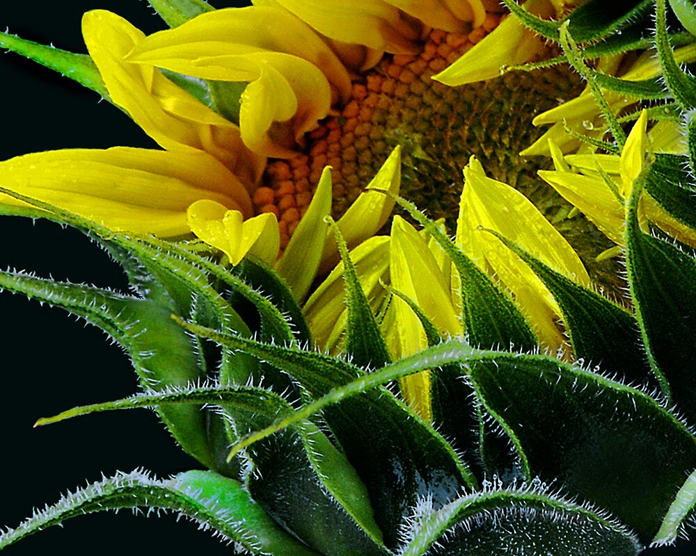 Sunflower in Light by Ken  Aitchison