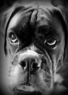 Oh Please... Let It Rain Cookies ~ Boxer Dogs Series ~ by Evita