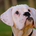 Is That Treat Really For Me??? - Boxer Pup - NZ by AndreaEL