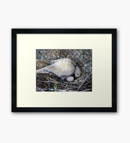 Perfect Beginning - Mother & Child - African Collared Dove - NZ Framed Print