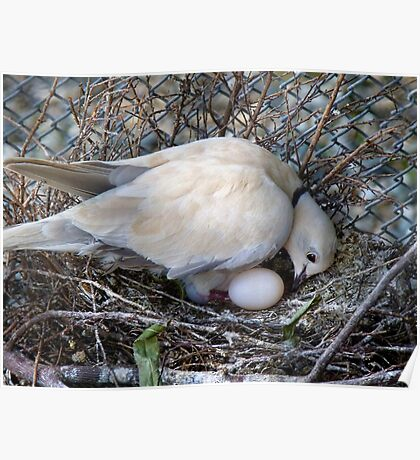 Perfect Beginning - Mother & Child - African Collared Dove - NZ Poster