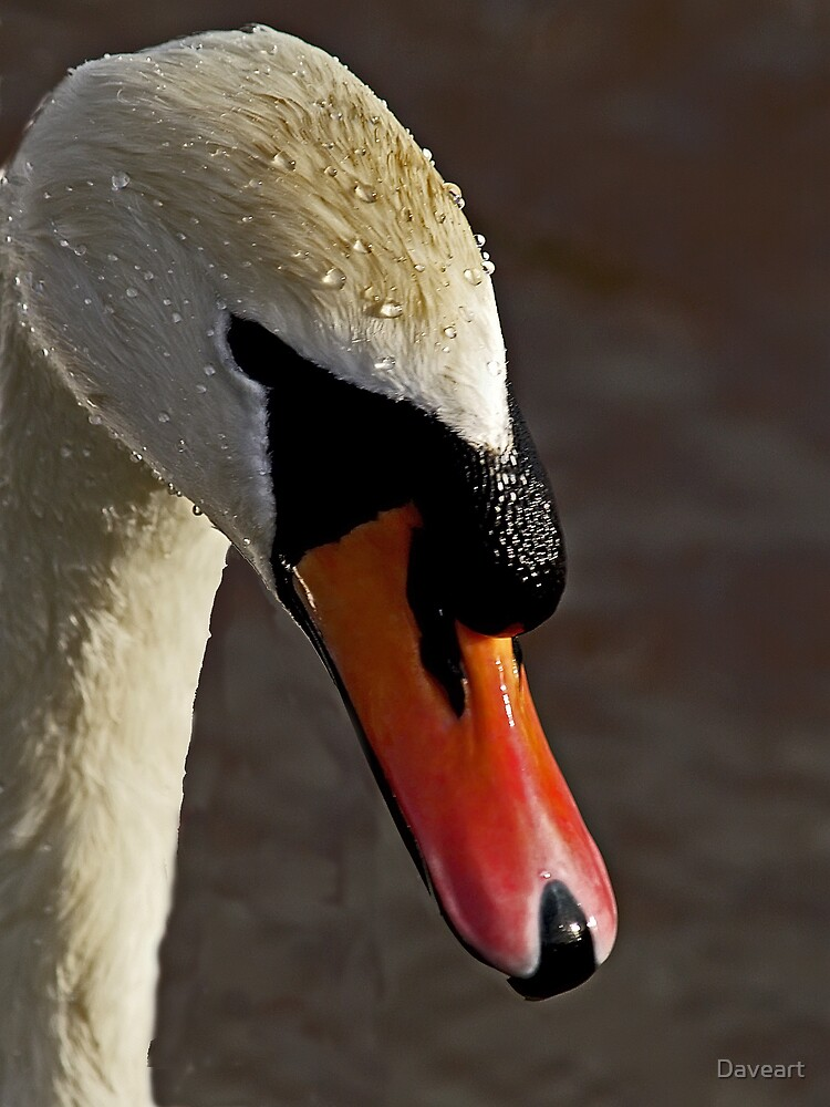 Portrait of a Swan by Daveart