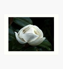 Magnolia Blossom 4 Art Print