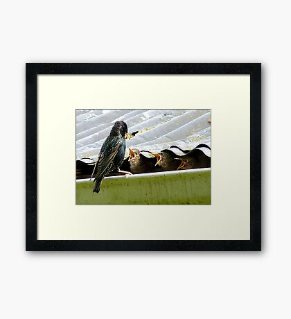 Don't Talk With Your Mouth Full! - Starlings Chicks - NZ Framed Print