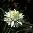 Blooming Flower by Evita