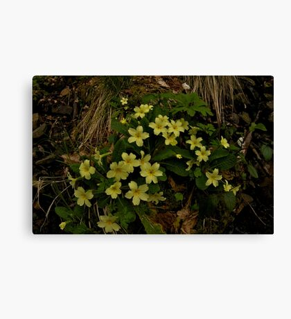Primrose, Drumlamph Wood, County Derry Canvas Print