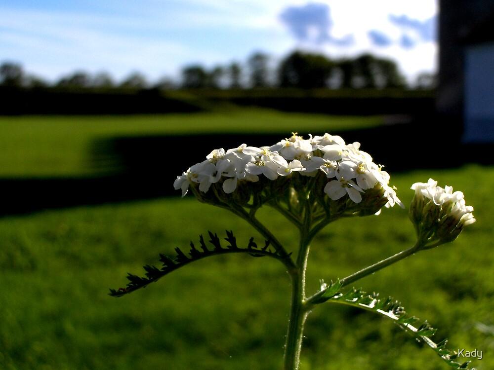Achillea millefolium. by Kady