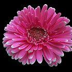 Pink Gerbera Daisy on Black Background by Kathryn Jones