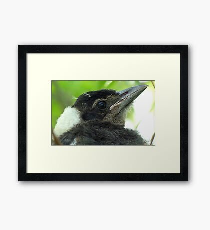 Loosing The Baby Fluff! - Magpie - NZ Framed Print