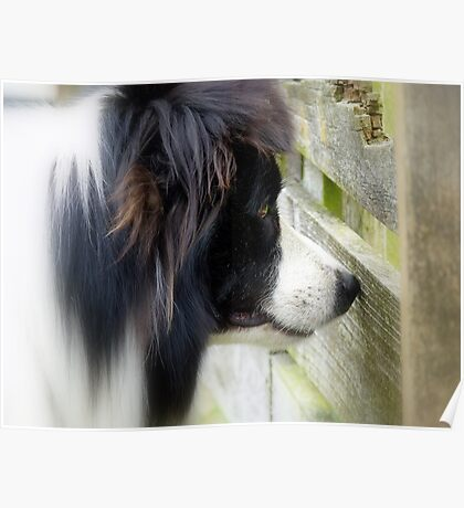 I Keep A Close Watch On These Sheep Of Mine... Border Collie - NZ Poster