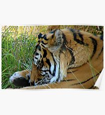 Phew! Is This Day Over Yet? - Tiger - Orana Wildlife Park CHC NZ Poster