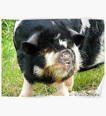 This Little Piggy Had Roast Beef!!! - Pig - NZ Poster