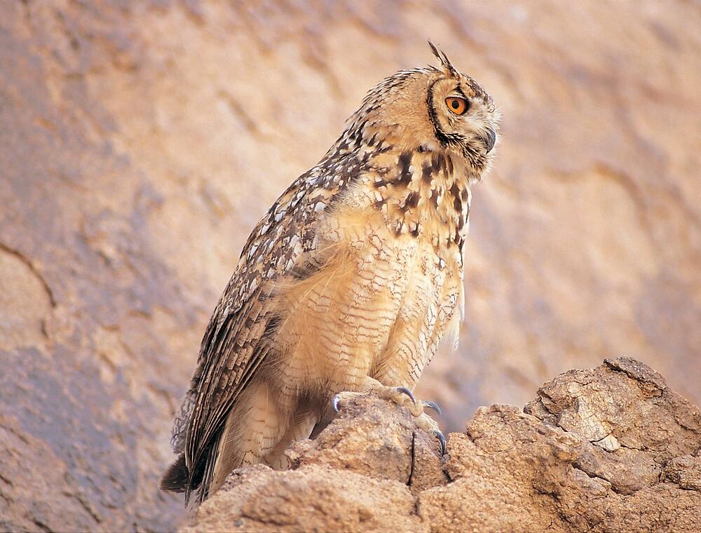 Spotted Eagle Owl - Saudi Arabia by GarthHyland