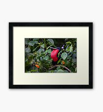 "Male Frigate with his impressive ""red chest"" Framed Print"