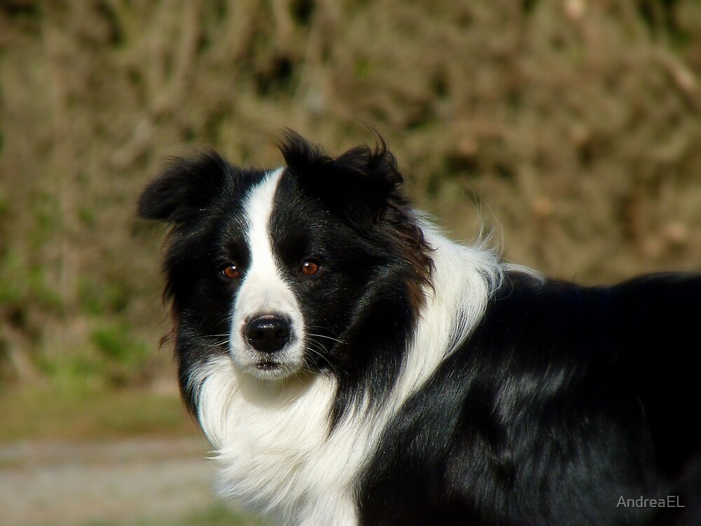 Quot I Herd The Word Sheep Border Collie Nz Quot By