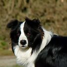 I Herd... The Word Sheep!!... - Border Collie - NZ by AndreaEL