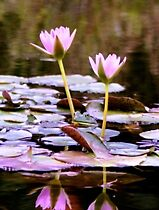 Pastel Water Lillies by maliaio