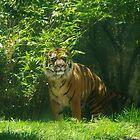 Sumatran Tiger by lezvee