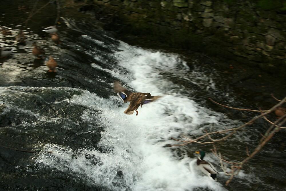 flying duck over water by jscott40