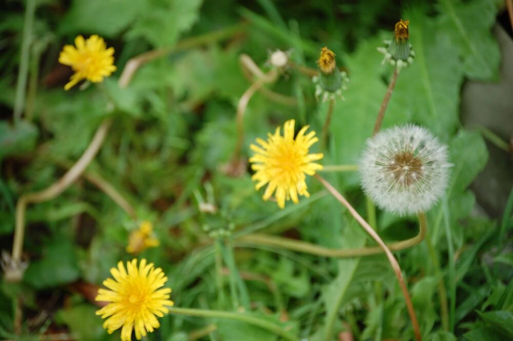 Dandelions by Beetlebug