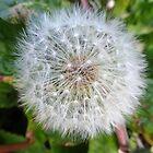 Just a Dandelion by trish725