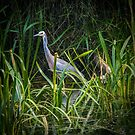 White Faced Heron by Bette Devine