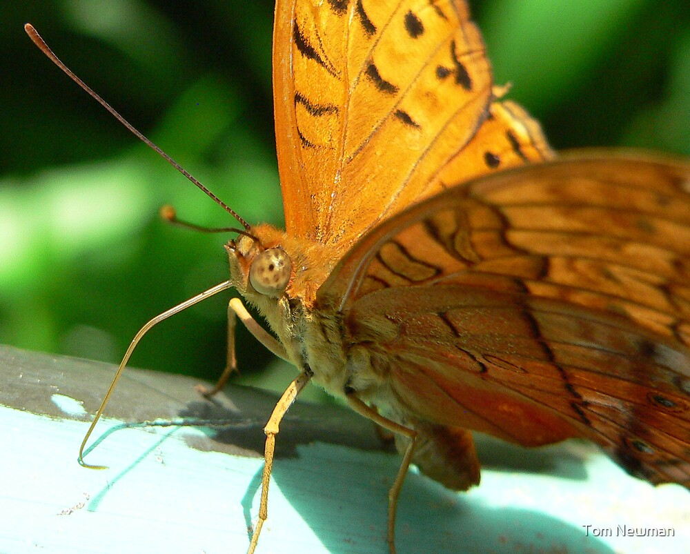 Butterfly by Tom Newman