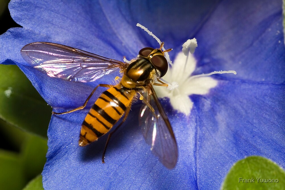 Hoverfly on flower by Frank Yuwono