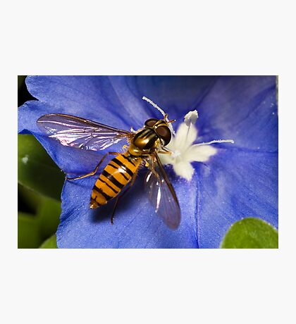 Hoverfly on flower Photographic Print