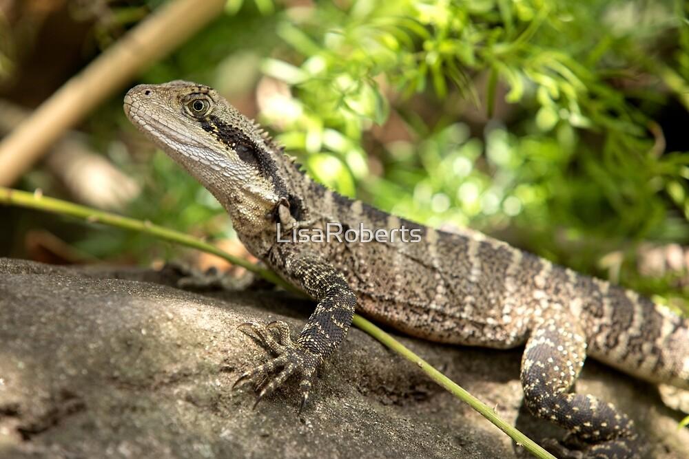 Eastern Water Dragon, Sydney Australia by LisaRoberts