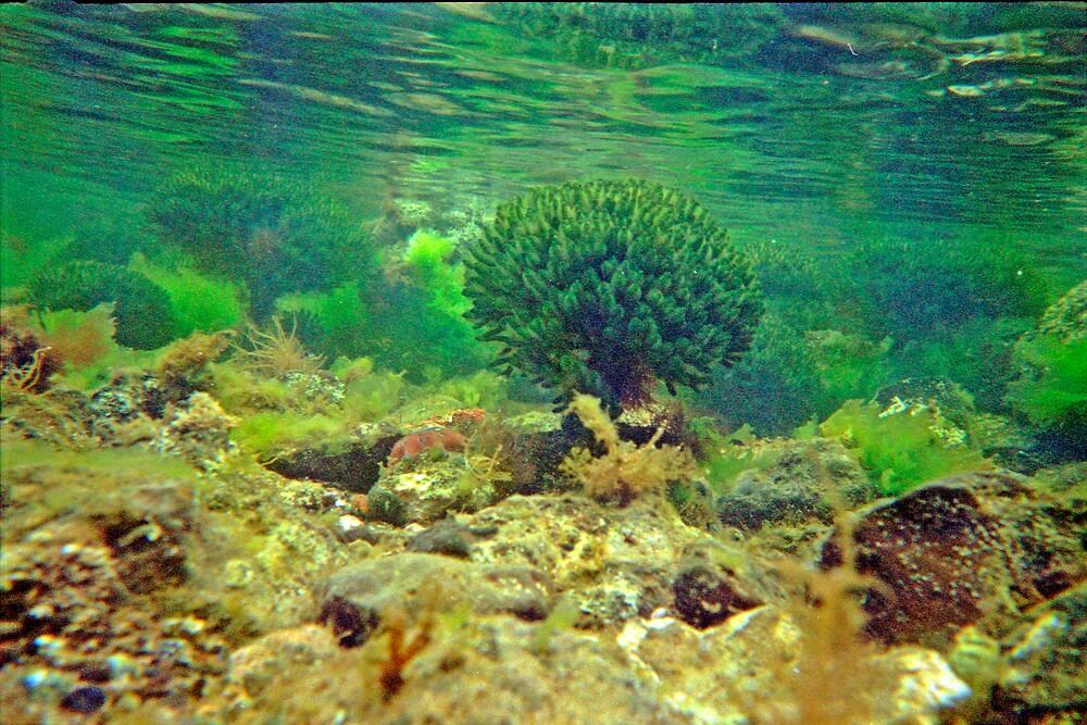 Underwater Port Phillip Bay  by Andrew Klym
