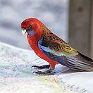 Crimson Rosella, NSW Australia by LisaRoberts