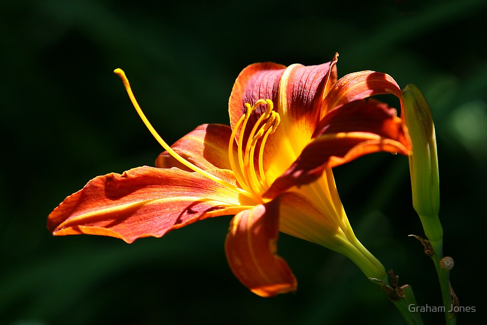 Day Lily by Graham Jones