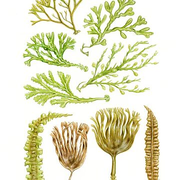 British Seaweeds & Kelp by edenart