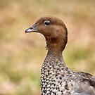 Australian Wood Duck, Victoria, Australia by LisaRoberts