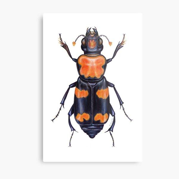 American Burying Beetle Metal Print