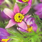 Anemone by alan shapiro