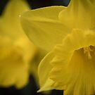 Daffodil Pair by Harv Churchill