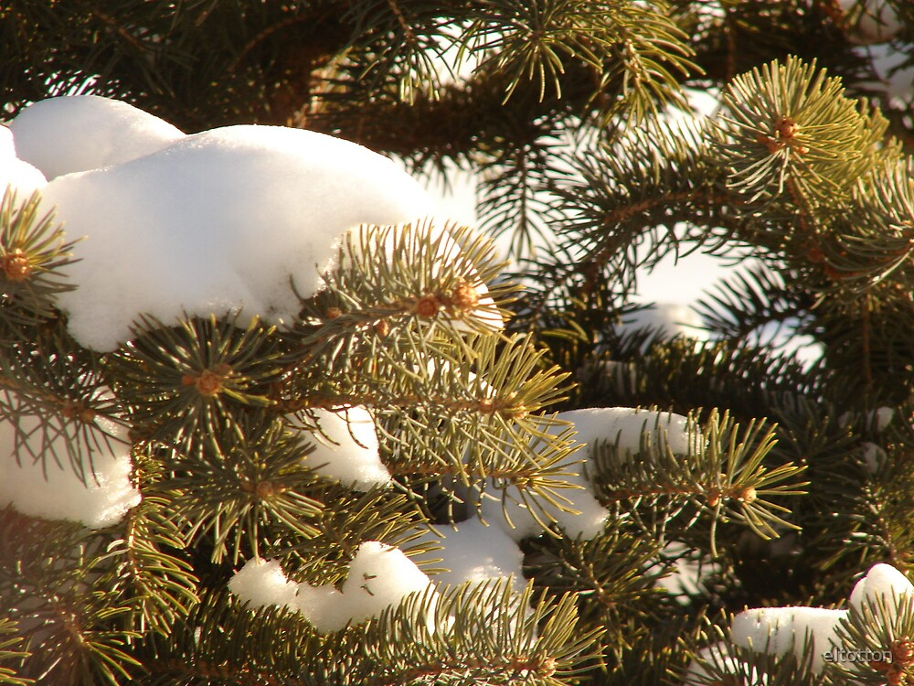 Snow On The Spruce  by eltotton