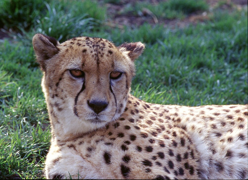 Resting Cheetah by kitlew
